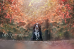 Berni pásztorkutya fotózása ősszel