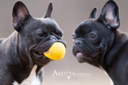 Francia buldog labdával morcosan :)