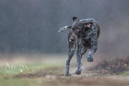 Német vizsla fotózása esőben
