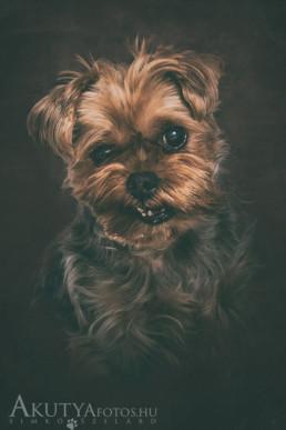 yorkshire terrier műtermi kutyafotó