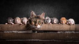 macskák műtermi fotózása