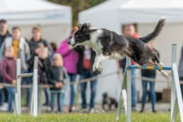 ausztrál pásztorkutya verseny fotózás