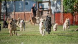 játszó kutyák fotózása