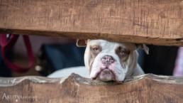 bulldog fotózás