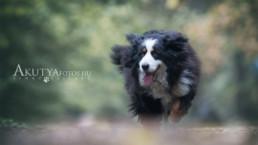 berni pásztorkutya fotózás
