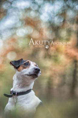 jack russel terrier portré