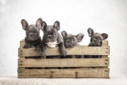 alomfotózás, francia bulldog kölykök fotózása