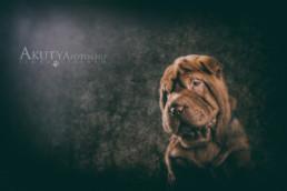 Shar pei kutyafotó műteremben