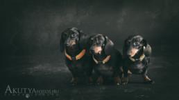 Tacskó kutyafotó