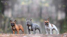 francia bulldog fotózás